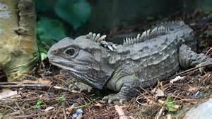 Image result for a new zealand tuatara