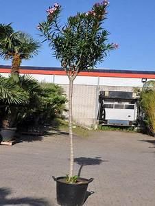 Oleander Winterhart Kaufen : oleander von der palmenmann auf kaufen ~ Eleganceandgraceweddings.com Haus und Dekorationen