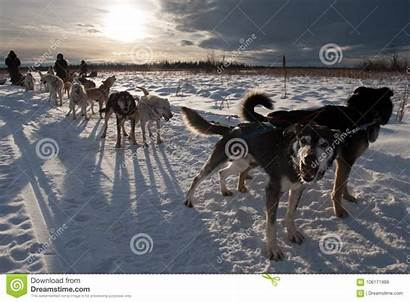 Sled Dog Team Prepares Pull Command Ready