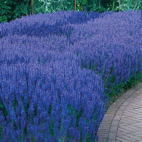 Lavender Farm Nursery by Blue Queen Salvia Sun Perennial Flowers Sun Loving