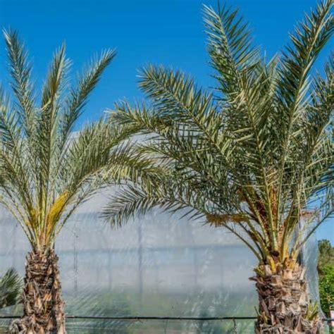 palm trees palm tree nursery palm trees  sale