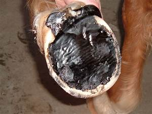 Treating A Sore Barefoot Horse After Trimming