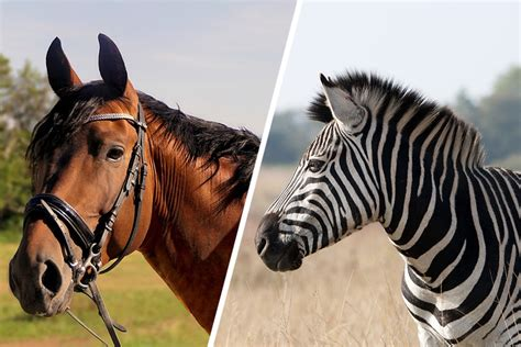 zebra horse zebras domesticated horses why riding animals