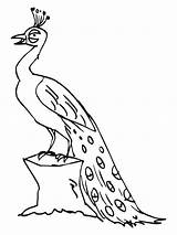 Peacock Coloring Pages Peacocks Printable Outline Drawing Clipart Colour Birds Bestcoloringpagesforkids Animals Feather Adult Sheets Animal Getcoloringpages Getdrawings sketch template