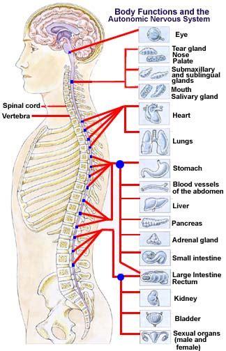 미국 주진성 척추신경 gt 주진성 척추신경 상담 gt 건강칼럼 척추교정과 중추신경계 ii 샌디에이고