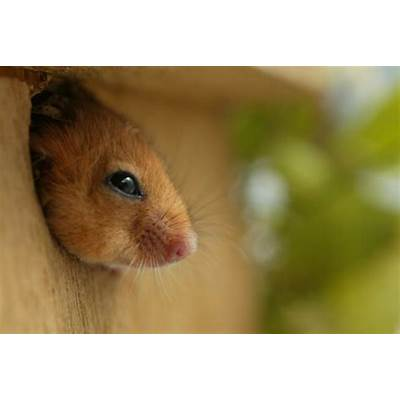 Dormice - Peoples Trust for Endangered Species