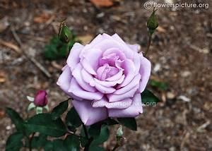 Mainzer Fastnacht Rose : flowers by name m gallery 1 ~ Orissabook.com Haus und Dekorationen