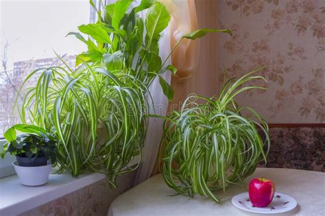 windowsill plants warmer atmosphere comfortable indoor stand window flowers table cold winter moscow russia