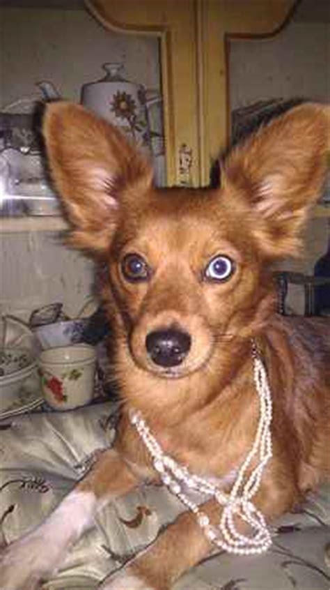 papshund papshunds dachshund  papillon