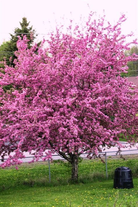pictures of crabapple trees crabapple tree in full bloom by shadyman on deviantart