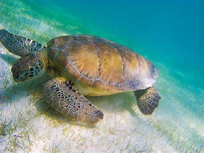 Turtle Sea Cool Animals Backgrounds Background Wallpapers