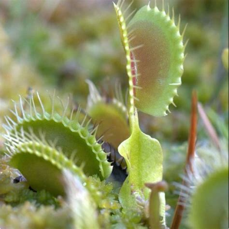 fly trap plant venus fly trap is an interesting plant house plants wild ferns wi
