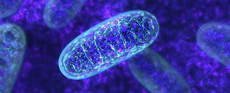 mitochondria say does ce discovered sciencealert without impossible textbooks microbe something flexibilite metabolique est scientists