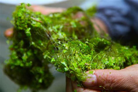 Green Pond Algae