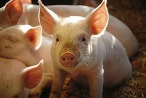 Tierkreiszeichen Berechnen : chinesisches sternzeichen schwein tierkreiszeichen astrologie ~ Themetempest.com Abrechnung