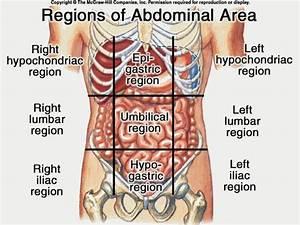 Anatomy Of Stomach Area   Anatomy Of Stomach Area Photos