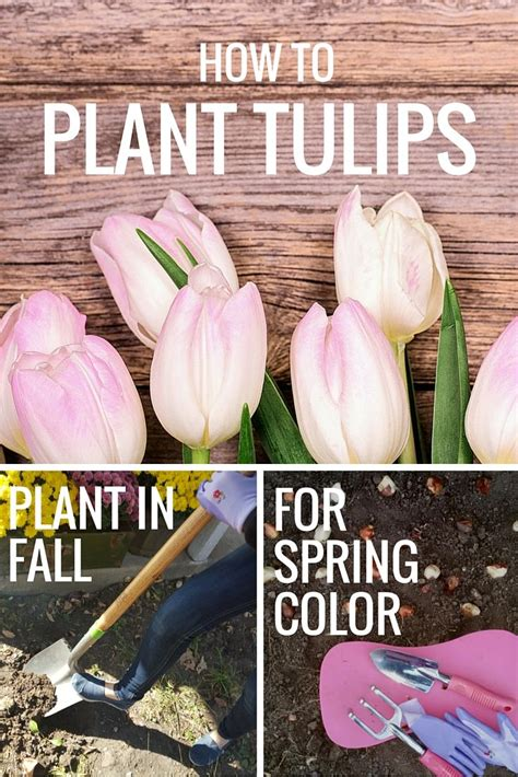 how to plant tulips plant tulips in the fall for pretty