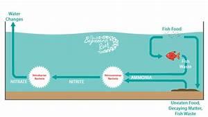 Fish Tank Nitrogen Cycle  U2013 Step