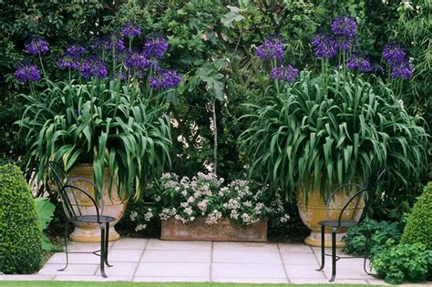 how to grow agapanthus in the garden