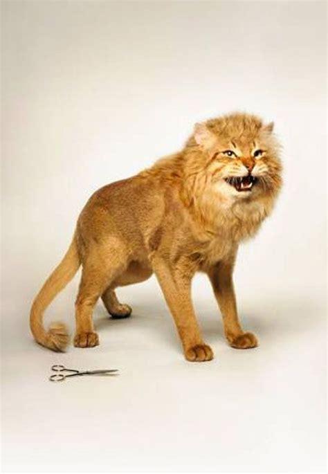 lion cut wow cat lion haircut funny cat pictures