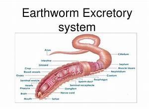Diagram Of The Excretory System