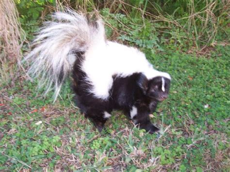 skunks as pets pet skunks 28 images pets skunks uk gallery weird pets that you could actually own skunk
