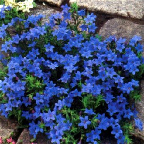 blue ground cover flowers lithodora heavenly blue perennials lithodora heavenly blue sycamore trading