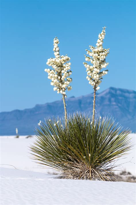 deserts  bloom  spots  springtime wildflower watching