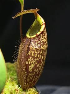 Venusfliegenfalle Pflege Haltung : fleischfressende pflanzen arten fleischfressende pflanzen aus der n he kennen lernen ~ Watch28wear.com Haus und Dekorationen