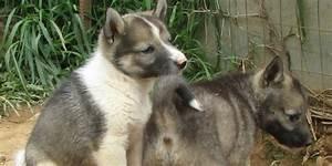West Siberian Laika - Information, Characteristics, Facts ...