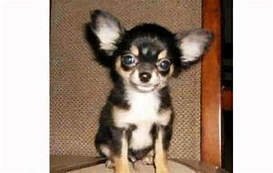 Long Hair Teacup Chihuahua - YouTube