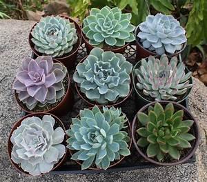 "6"" Echeveria Succulent - Succulents for Sale Bulk"