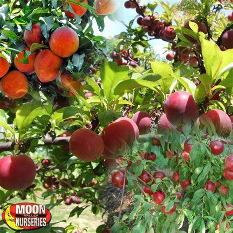Fruit Salad Tree