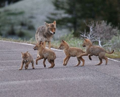 coyote pups play  mother nature moments wolves dogs