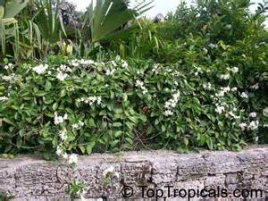 flower leis stephanotis floribunda bridal bouquet madagascar