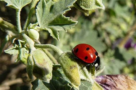 ladybug vs asian beetle asian lady beetle vs ladybug difference and comparison diffen 41 42kb