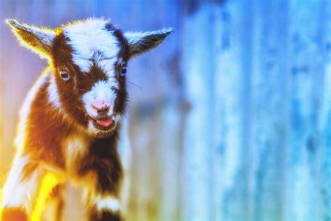 Animals Mammals Goats Wallpaper And Background