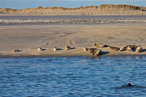 Bilder Norderney by Datei Grey Seal Norderney Jpg
