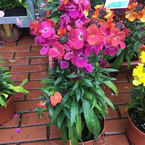 acheter erysimum winter orchid pas cher sur coclicoh