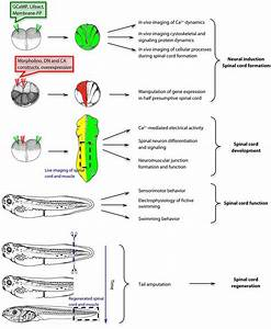Diagram Spinal Cord Function