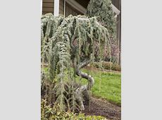 Weeping Blue Atlas Cedar has a dramatic, weeping habit