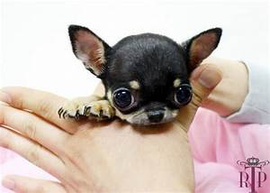 The gallery for --> Newborn Teacup Chihuahuas