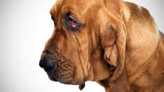 Bloodhound Dog Breeds