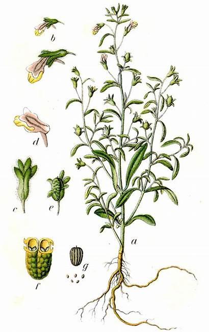 Chaenorhinum Minus Leinkraut Kleines Antirrhinum Wikipedia