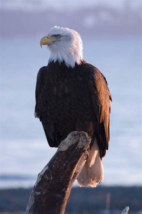 Bald Eagle Images Bird Breeds Pictures Information