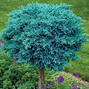 Blue Star Juniper on Standard | Backyard plan | Pinterest ...