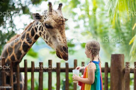Kids Feed Giraffe At Zoo Children At Safari Park Stock