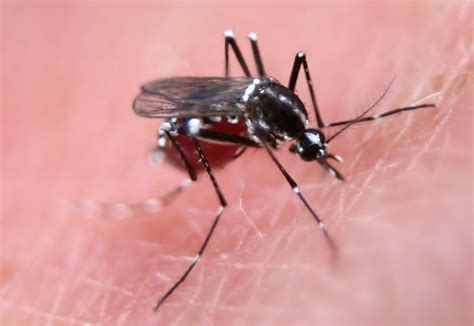 what is about mosquitoes genetically engineered mosquitoes to fight disease zdnet