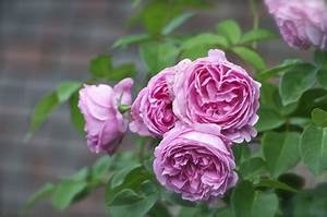 Top 10 Roses For Scent