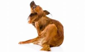 Puce De Chien : lutter contre les puces du chien ~ Melissatoandfro.com Idées de Décoration